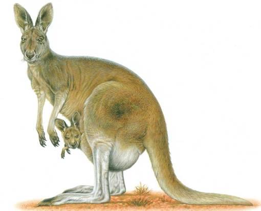 kangaroo-with-kid.jpg